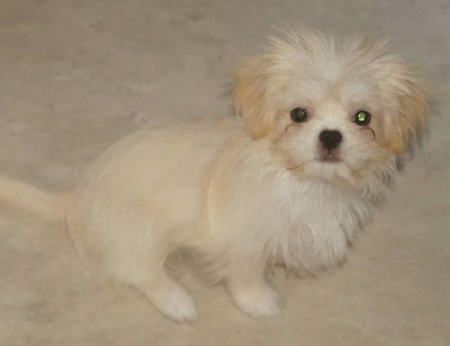 Chihuahua Mix Welpen Kleinbleibend Hunde Kleinanzeigen Net