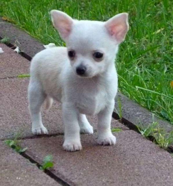 Chihuahua Kleinanzeigen Chihuahua Anzeigenmarkt Chihuahua
